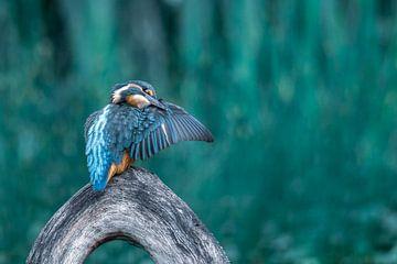 IJsvogel aan het poetsen van Christien van der Veen Fotografie