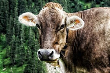 De nieuwsgierige Oostenrijkse koe