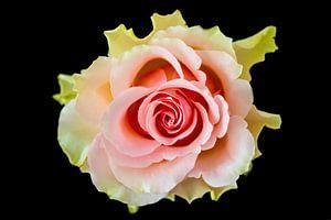 Rose auf schwarzem Hintergrund von Gert Hilbink