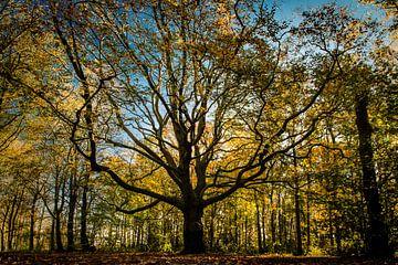 Grote Eikenboom in bos - herfstkleuren van Linsey Aandewiel-Marijnen