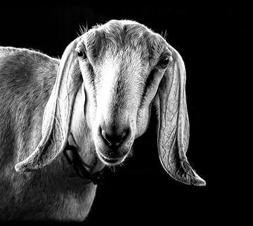 Nubian geit von Iris van Loon