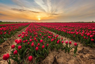Rotes Tulpenfeld von Quirien Marijs