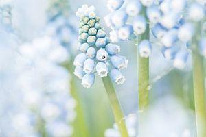 Bloeiende blauwe druifjes