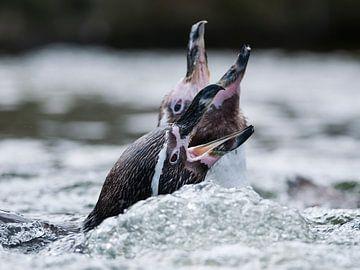 Pingouin Humboldt : Zoo de Ouwehands sur Loek Lobel
