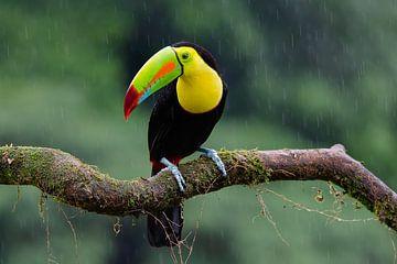 Tukan im Regen von Els Peelman