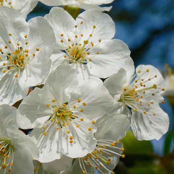 White cherry blossoms van