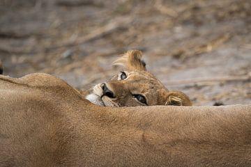 leeuw welpje van Ed Dorrestein