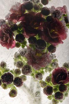 Kalanchoë in kristalhelder ijs 2 van Marc Heiligenstein