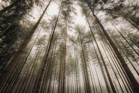 Blik naar boven in een winters dennenbos van Sjoerd van der Wal