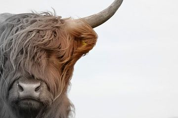 Schotse hooglander kop 2 kleurig van Sascha van Dam