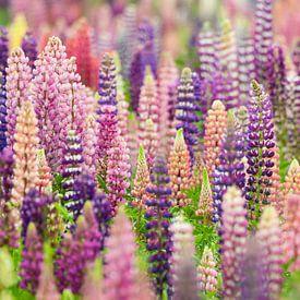 Bloemenveld met roze en paarse lupine bloemen van Caroline Piek