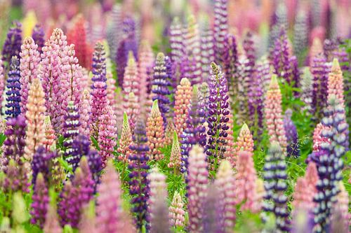 Flowering field full of lupines in pink and purple