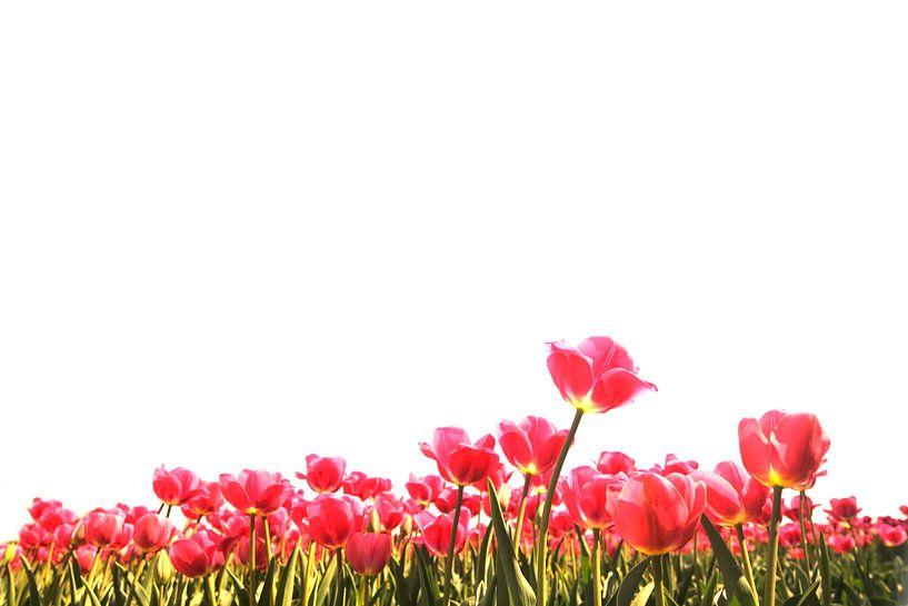 Tulpen van Sjoerd van der Wal