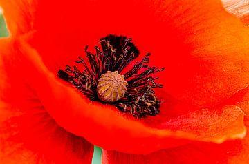 Poppy. van Thomas Heitz