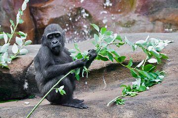 süßes kleines Affenbaby frisst grüne Blätter, wenn es auf den Felsen bei den Felsen sitzt von Michael Semenov