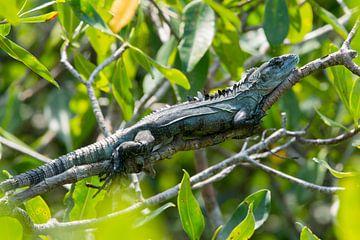 Een mannelijke Utila leguaan (Ctenosaura bakeri) ligt te rusten op een tak in de mangrove van Utila van Thijs van den Burg