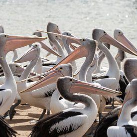 Hongerige Pelikanen in Australie van Chris van Kan