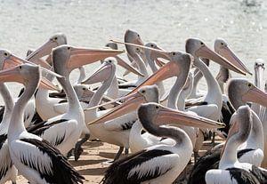 Hongerige Pelikanen in Australie von Chris van Kan