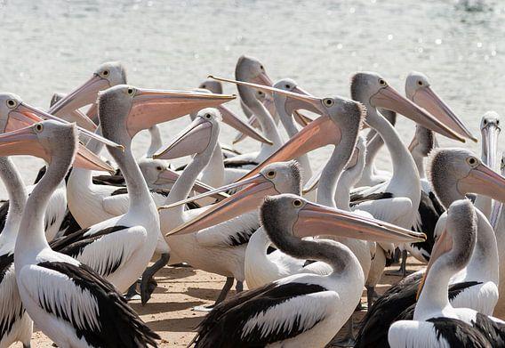 Hongerige Pelikanen in Australie