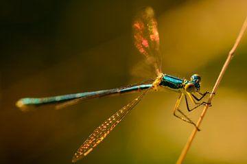 Goud licht op een libelle van