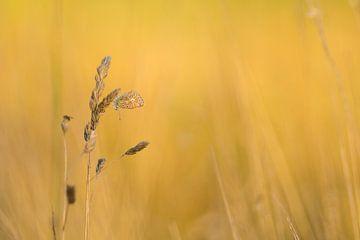 Icarusblauwtje tijdens het gouden uurtje van
