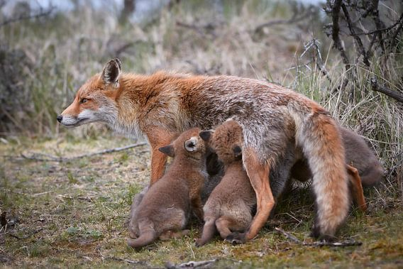 Moervos met jongen
