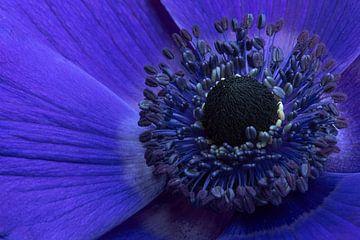 Blaue Anemone von Eric Wander