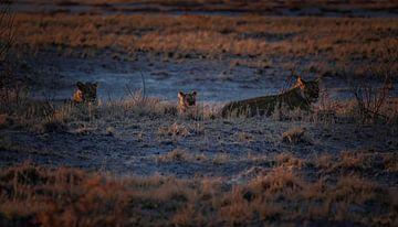 Gouden leeuwen momenten van Joris Pannemans - Loris Photography