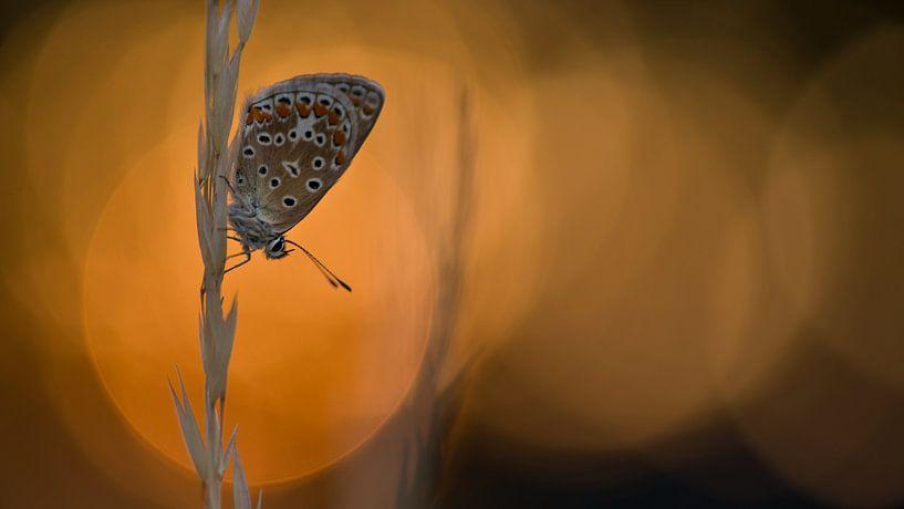 Icarusblauwtje bij ondergaande zon van Jan Jongejan