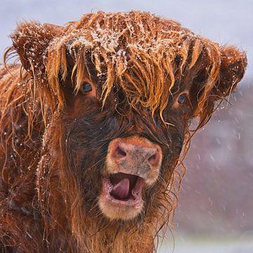 Sneeuwpret - Schotse Hooglander van Audrey van der Hoorn