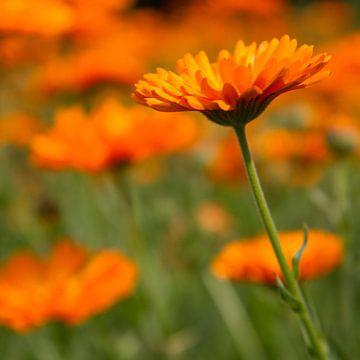 Oranje margrieten von Tessa Louwerens
