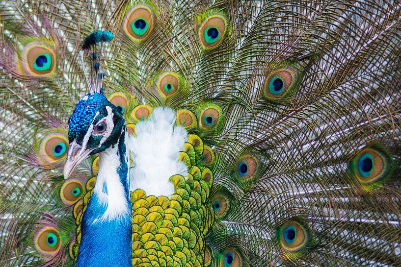 Peacock van Jelmer Jeuring