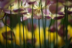 Uitgebloeide tulpen als kleurenpracht in de Keukenhof