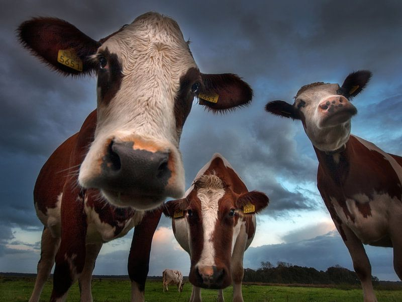 Nieuwsgierige koeien van Ruud Peters
