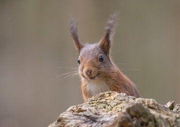 Rode Eekhoorn op de uitkijk van Marcel  Klootwijk