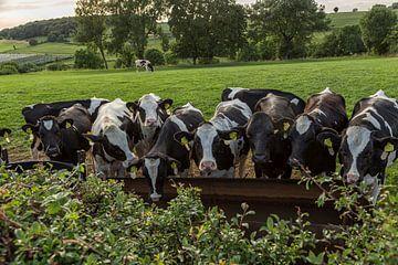 Drinkende koeien in Zuid-Limburg