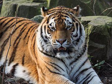 Amur-Tiger oder Sibirischer Tiger : Ouwehands DIerenpark von Loek Lobel