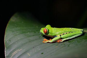 Rotaugen-Arafrosch in Costa Rica von Mirjam Welleweerd