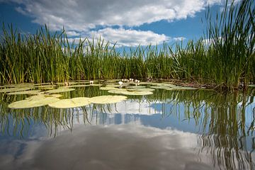 Waterlelie op spiegelend wateroppervlak met witte wolken van