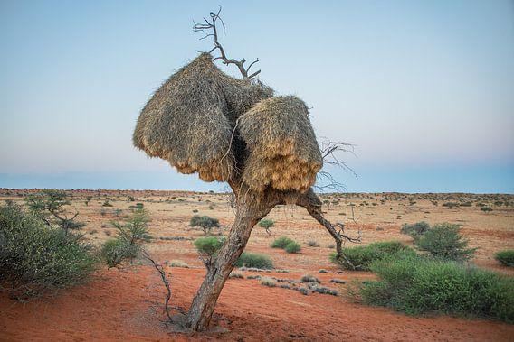 Boom met  Wever nesten in Kalahari woestijn Namibië bij avondschemering