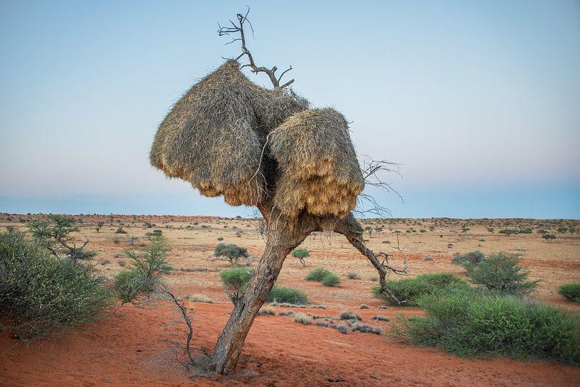 Boom met  Wever nesten in Kalahari woestijn Namibië bij avondschemering van Jille Zuidema