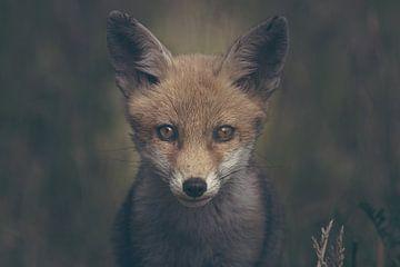 Portrait d'un jeune renard dans la nature néerlandaise dans un décor sombre et morose sur Maarten Oerlemans