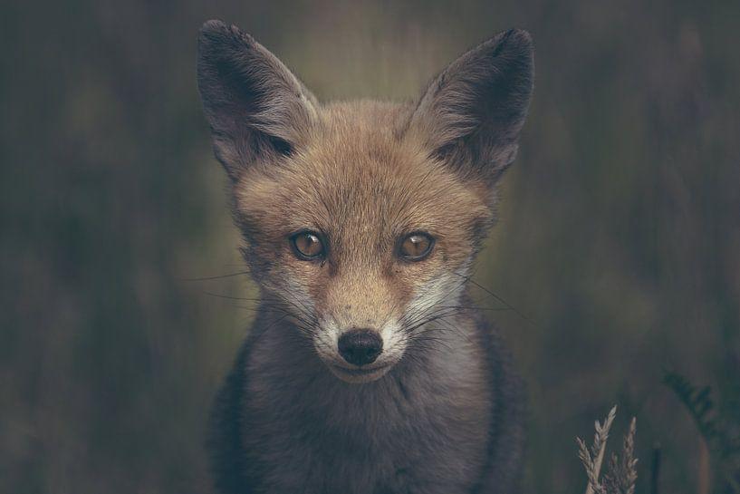 Portret van een jonge vos in de Nederlandse natuur in een dark moody setting van Maarten Oerlemans