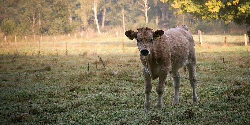 Koe op de vroege ochtend van Mees van den Ekart