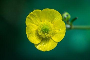 Gele boterbloem van Joost Potma