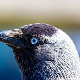 kauw van ton vogels