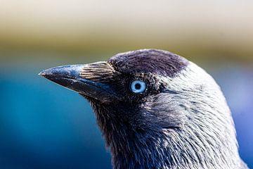 kauw von ton vogels