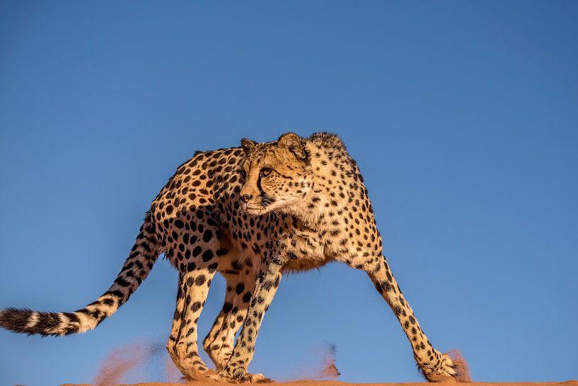 Cheetah van Bart Vodderie