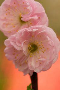 roze voorjaar bloem van