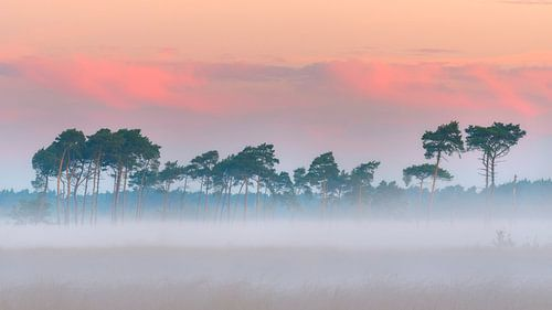 Mooie rij vliegendennen in de mist op de Kalmthoutse Heide van